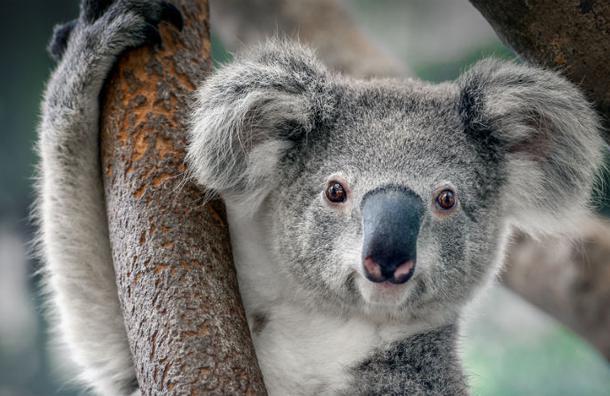 El 'sexy' koala que se roba las miradas en las redes sociales